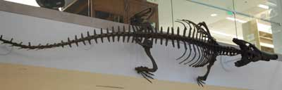 Tomistoma Machikanense - Crocodile fossil in Allen Library