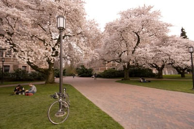 Trees blooming at University of Washington