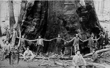 Men encircling large tree, probably Pacific Northwest, n.d.