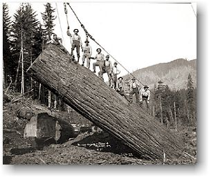 Logging crew yarding a very large log